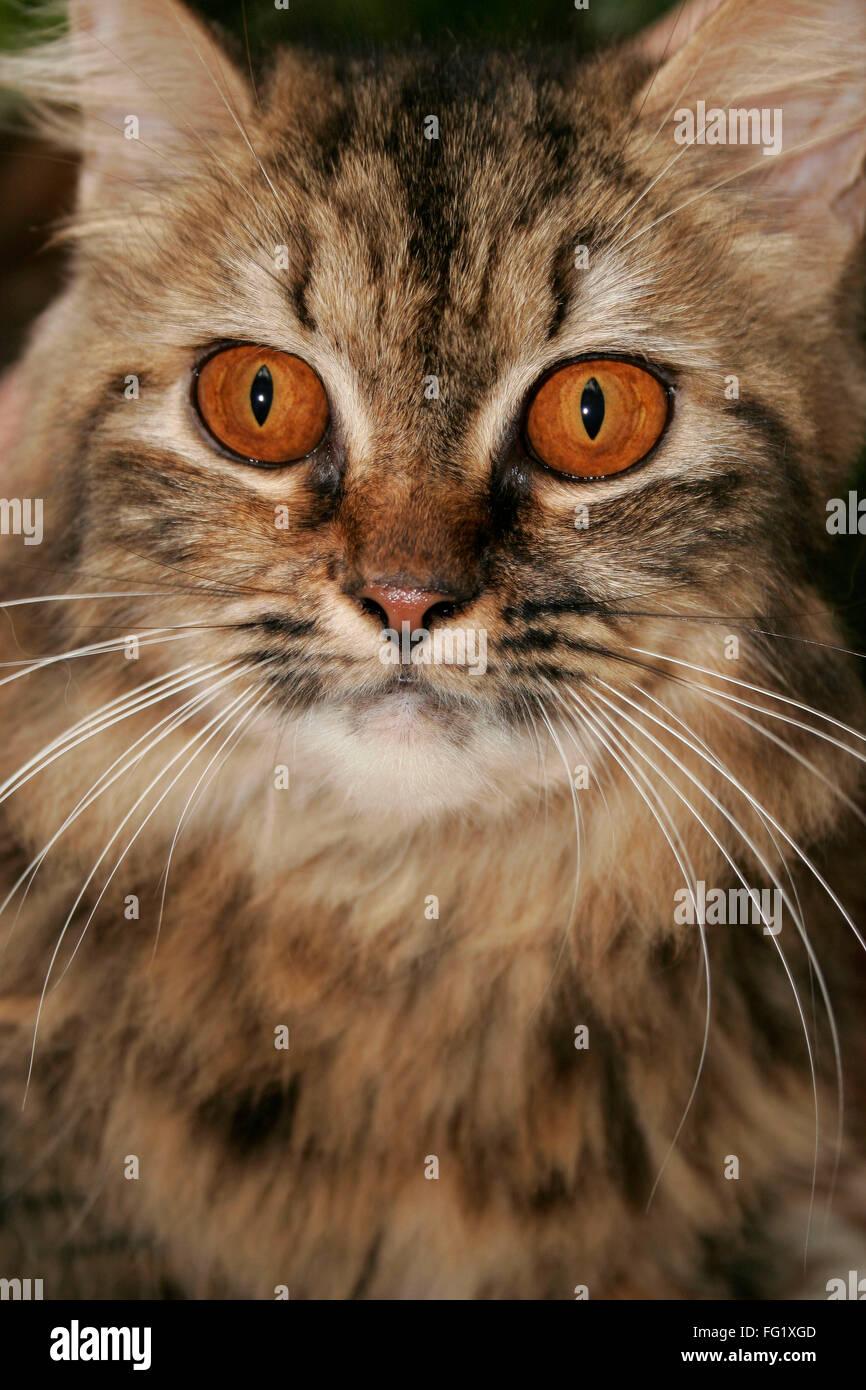 Gato persa con fieros ojos de color marrón oscuro y negro y beige fur Imagen De Stock
