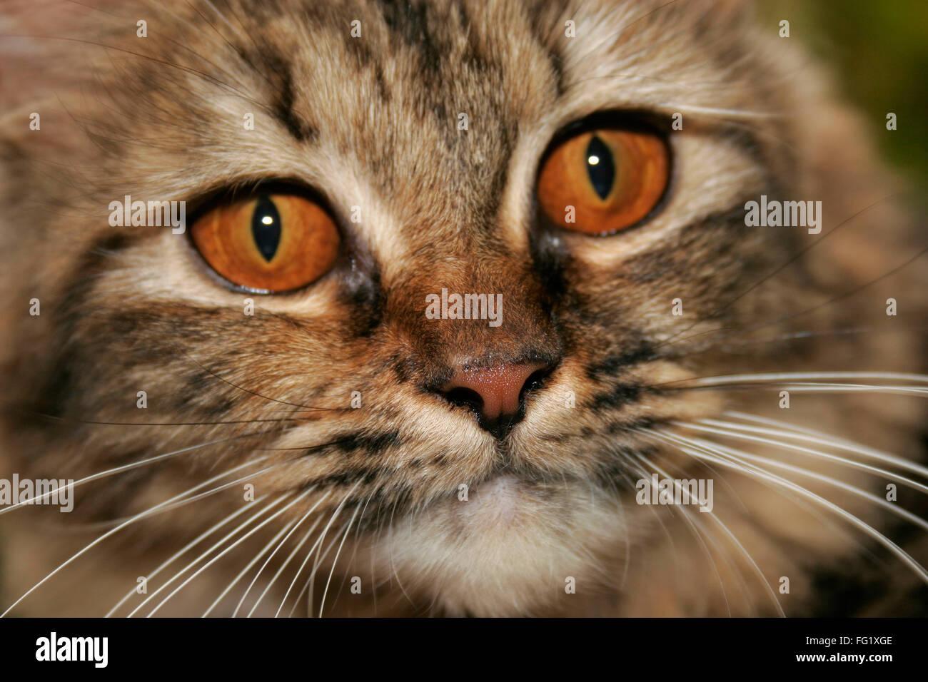 Gato persa con fieros ojos marrones y beige y negro fur Imagen De Stock
