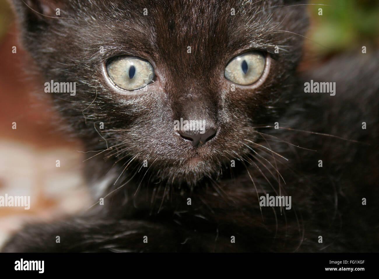 Negro persa gatito con fieros ojos marrón gris Imagen De Stock