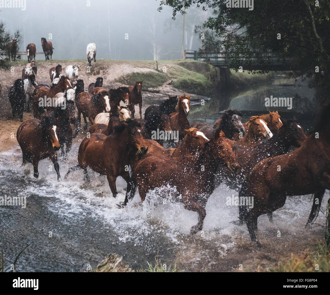 Caballos corriendo en el lago Imagen De Stock