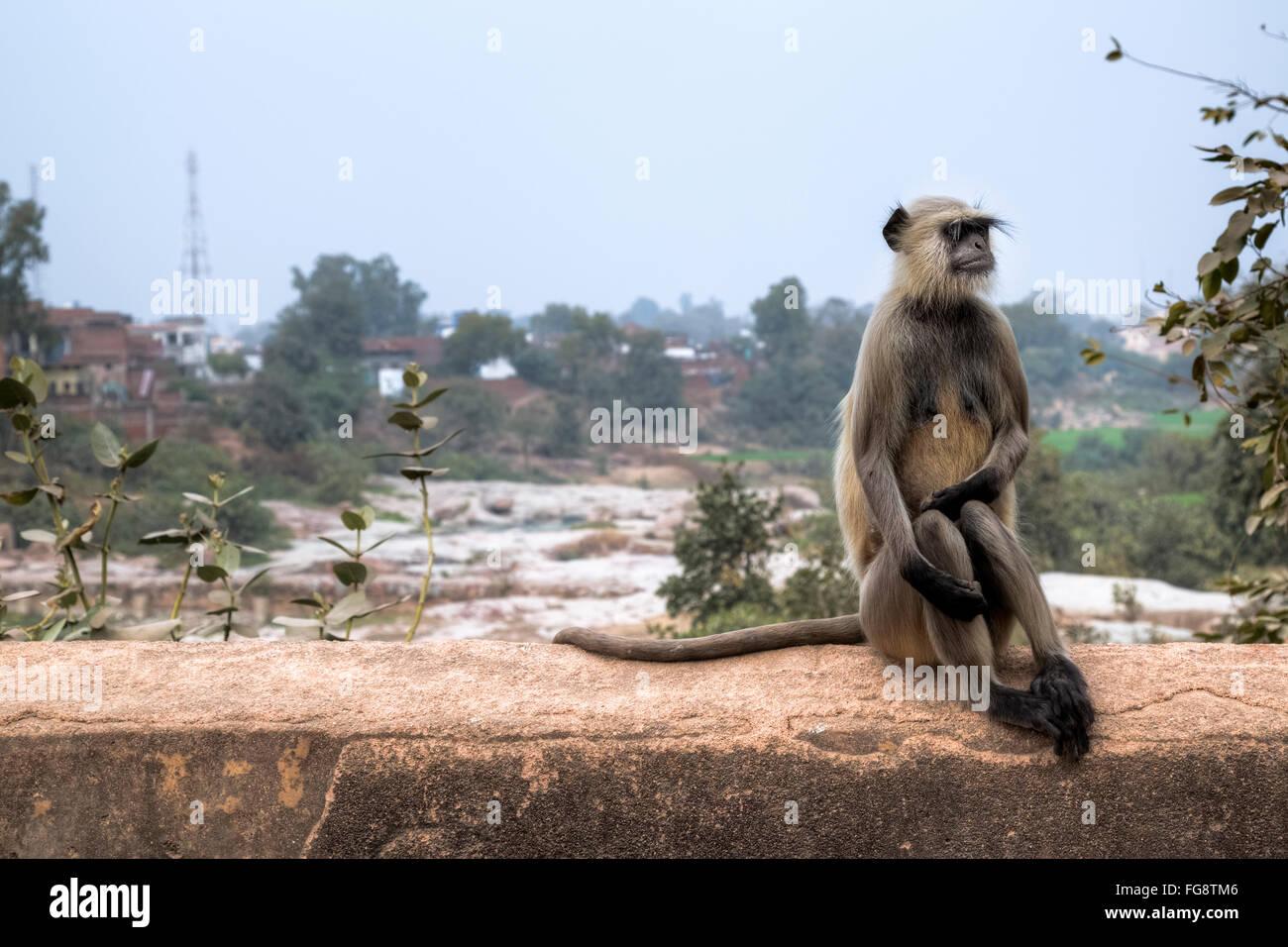 Mono Langur silvestres en Orchha, Madhya Pradesh, India, el sur de Asia Imagen De Stock