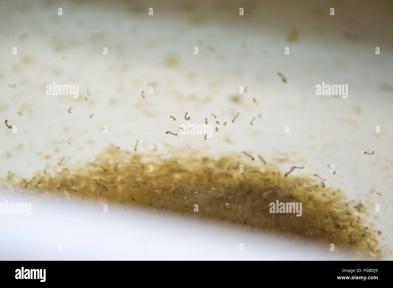 La Plata. 17 Feb, 2016. Imagen tomada el 17 de febrero de 2016 muestra las larvas del mosquito Aedes aegypti siendo Imagen De Stock