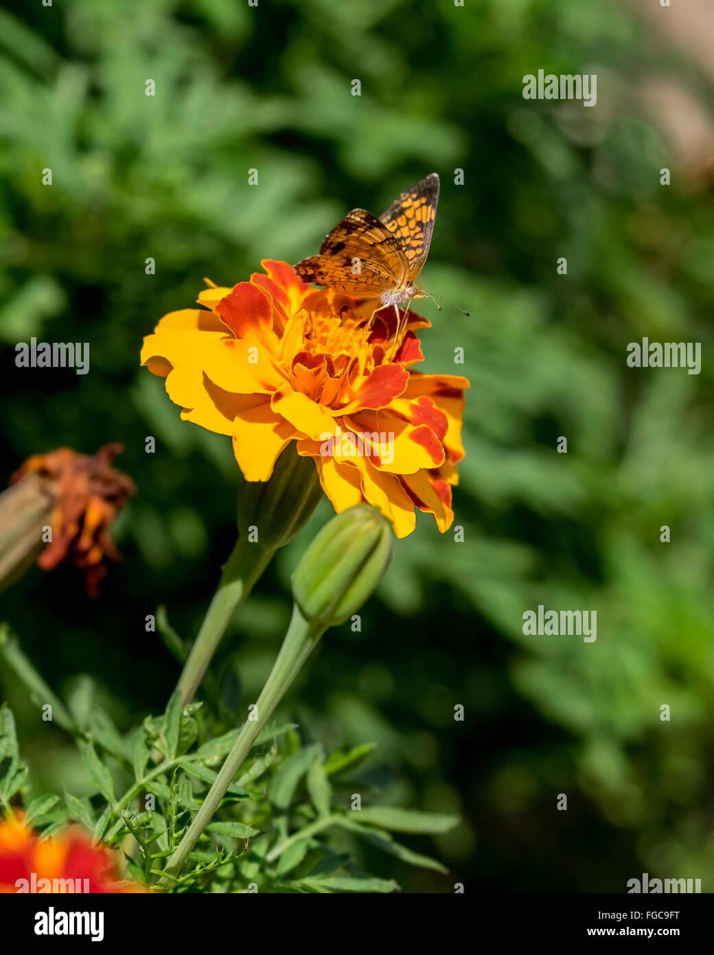 Un plateado Checkerspot butterfly, Chlosyne nycteis, en francés Las Caléndulas, Tagetes Petula. Oklahoma, EE.UU. Foto de stock