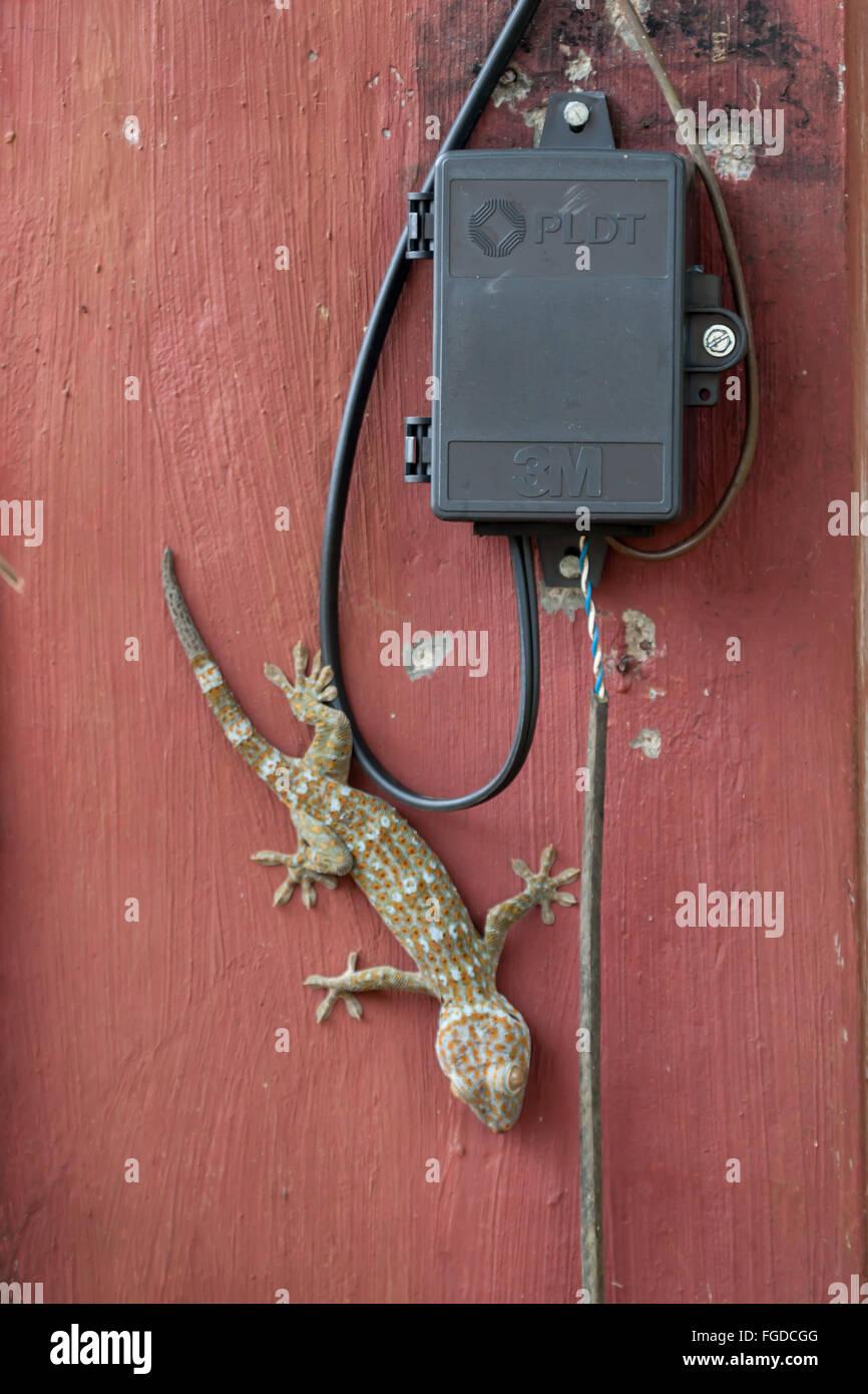 Geckos On Walls Imágenes De Stock & Geckos On Walls Fotos De Stock ...