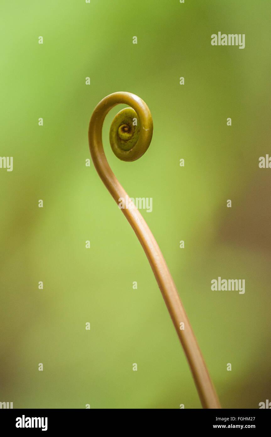 La espiral fronda rizada de un nuevo helecho, Kauai, Hawai. Foto de stock