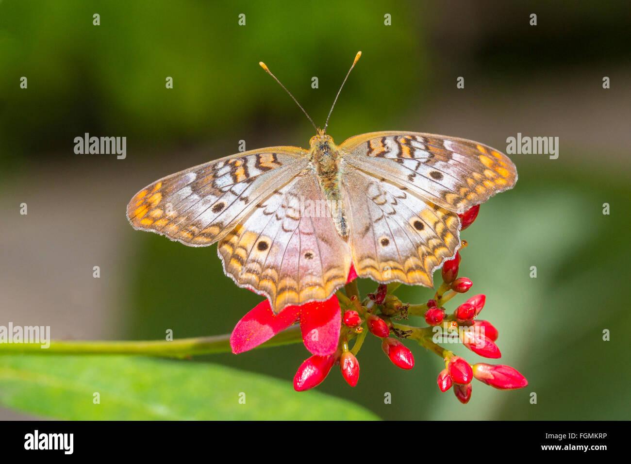Peacock mariposa Anartia jatrophae blanco en una flor en las fincas de mariposas en Fort Myers Florida Imagen De Stock