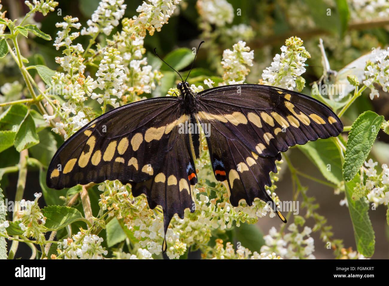 Especie gigante mariposa Papilio cresphontes en las fincas de mariposas en Fort Myers Florida Foto de stock