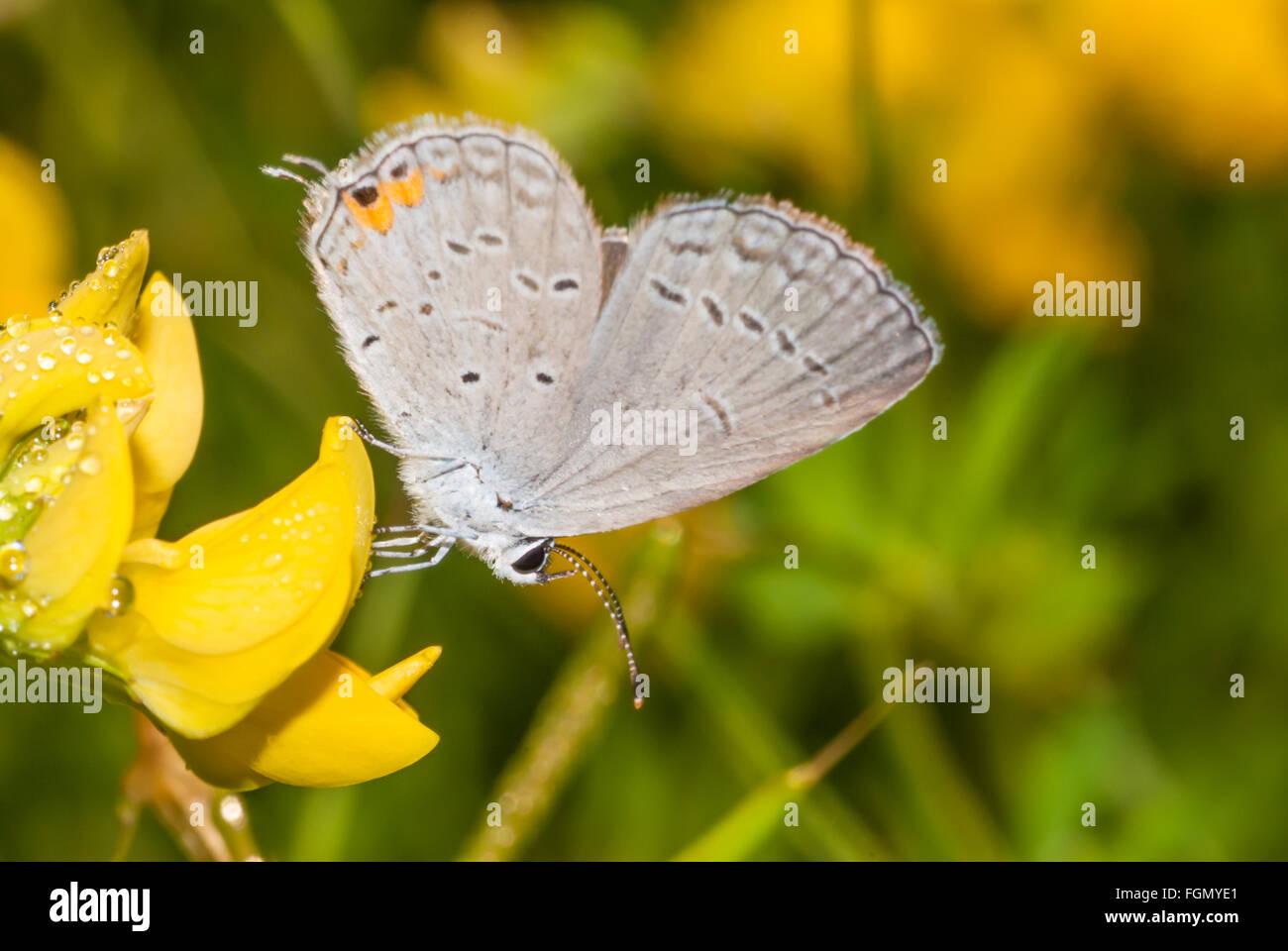 Colas oriental mariposa azul, Everes comyntas, encaramado sobre dewy bird's-pie el trébol flores, Esteros del Área Foto de stock