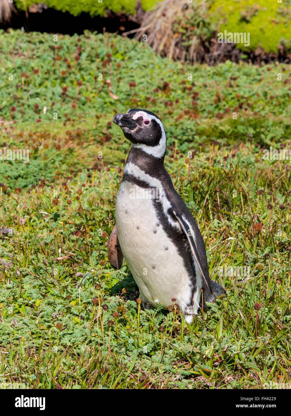 Pingüino de Magallanes, Seno Otway - Punta Arenas, Chile. Imagen De Stock
