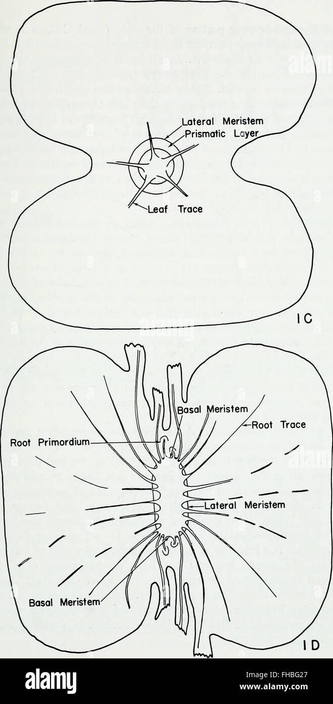 El desarrollo de la anatomía de Isoetes (1963 Foto & Imagen De Stock ...