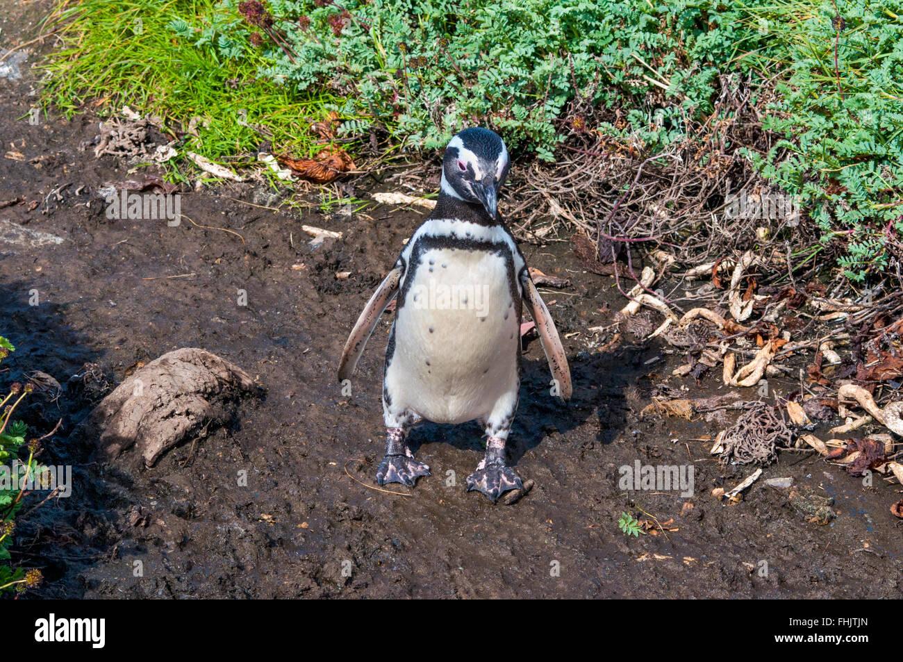 El pingino caminar sobre la tierra en la costa del Seno Otway, Chile Imagen De Stock