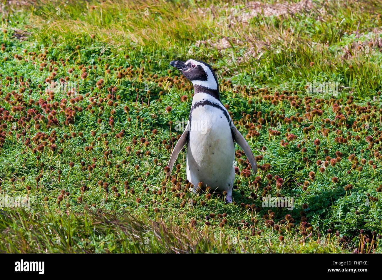 Pingüinos de Magallanes (Spheniscus magellanicus) en la costa del Seno Otway, Chile Imagen De Stock