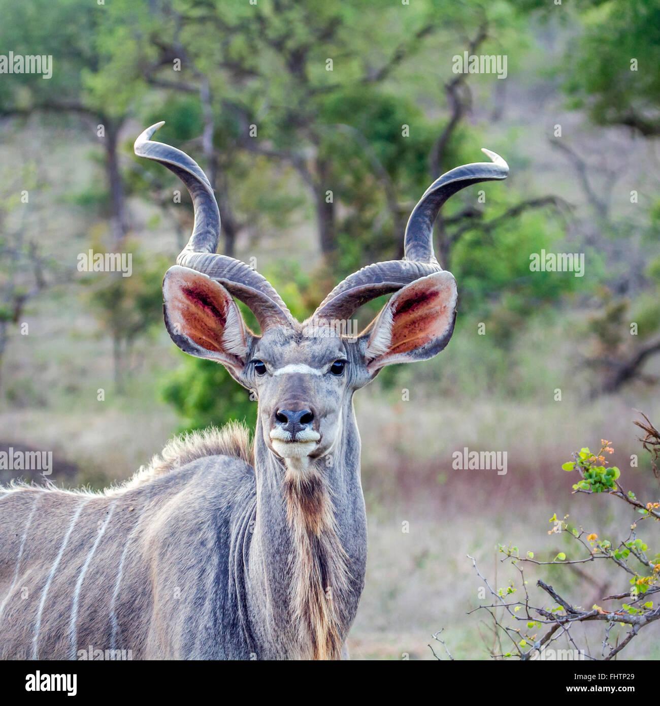 Mayor kudu Tragelaphus strepsiceros ; Especie de la familia Bovidae Parque Nacional Kruger, Sudáfrica Imagen De Stock