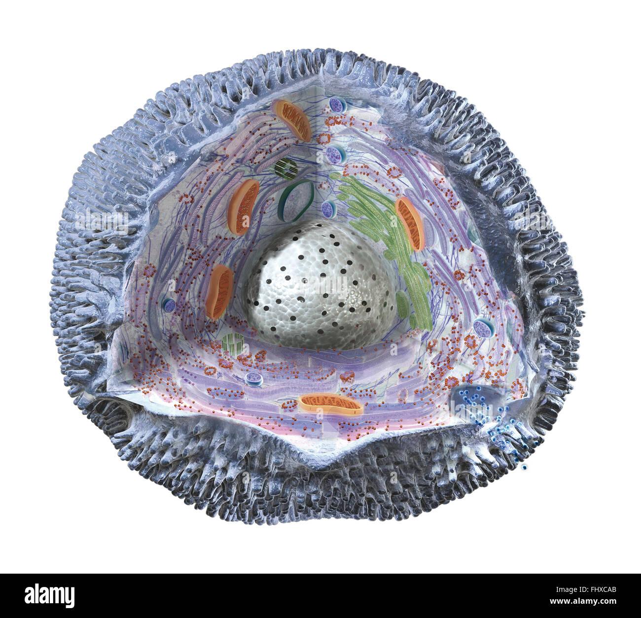 La Estructura De La Célula Humana Mostrando La Membrana