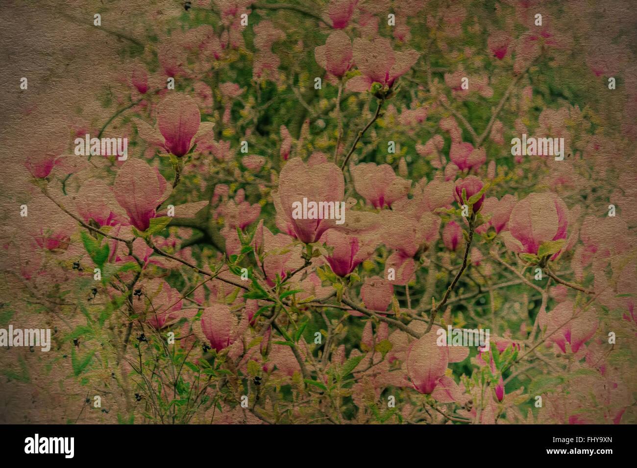 Arbol De Magnolia Flores De Primavera En Vintage Fondo De Pantalla