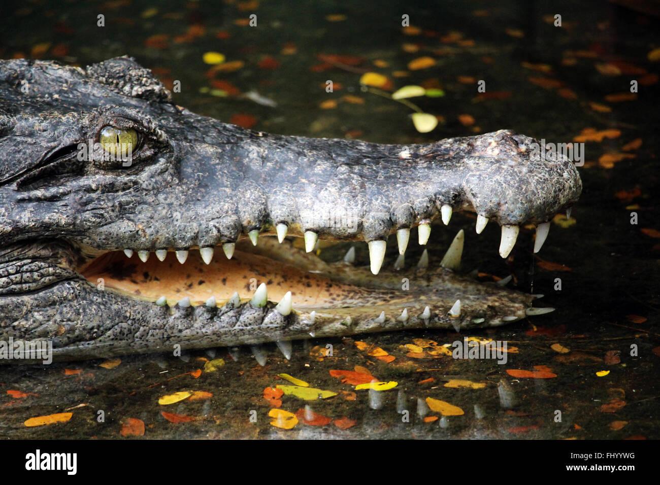 MIRI/MALASIA - 24 de noviembre de 2015: un cocodrilo con grandes dientes en Borneo Imagen De Stock