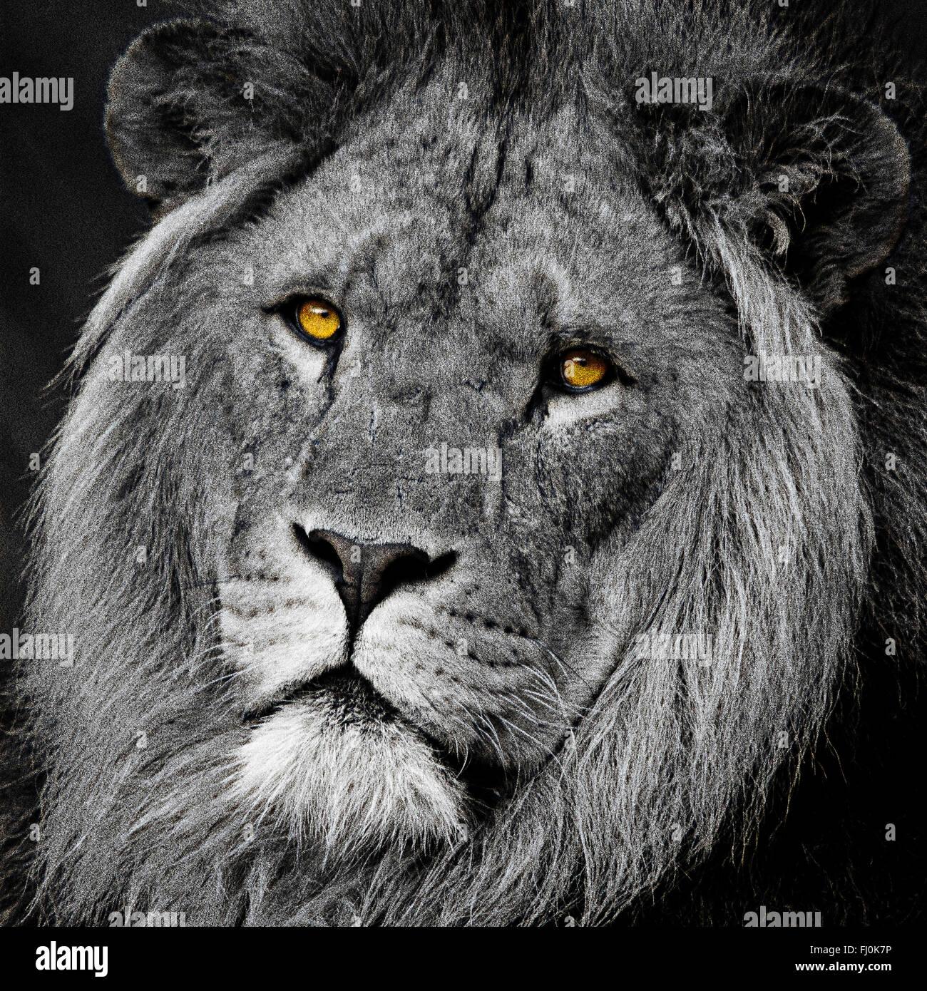 Lion big cat head retrato en blanco y negro de conversión mono con color (color) pop ojos alto detalle de contraste. Cierre de formato cuadrado recortado con impacto Foto de stock