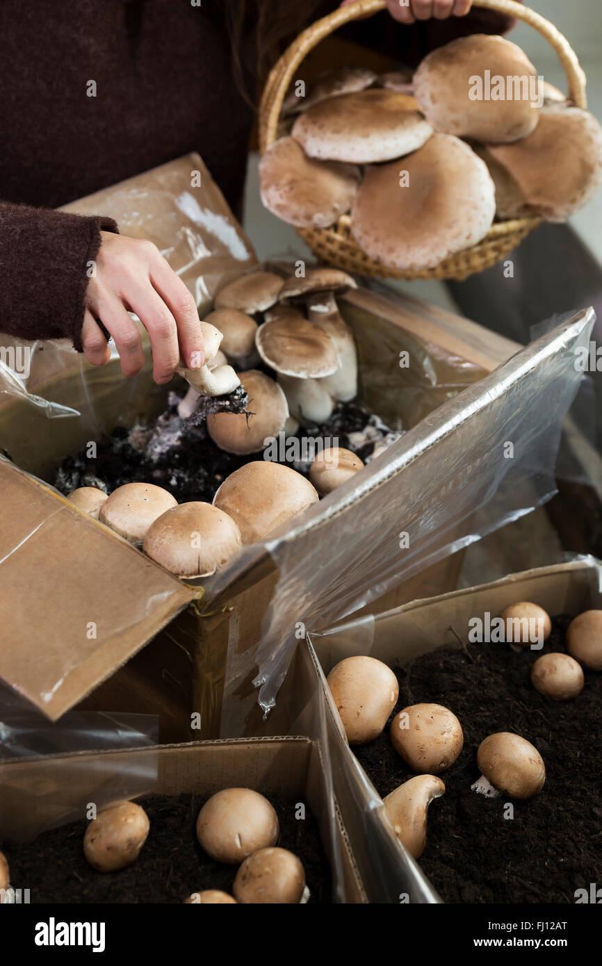Mujer crimini recogida de setas cultivadas en cajas Foto de stock