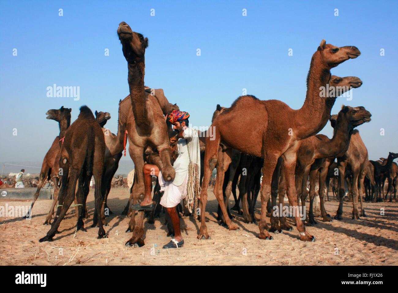 Los camellos y sus propietarios durante Pushkar mela feria de camellos en Rajasthan Foto de stock