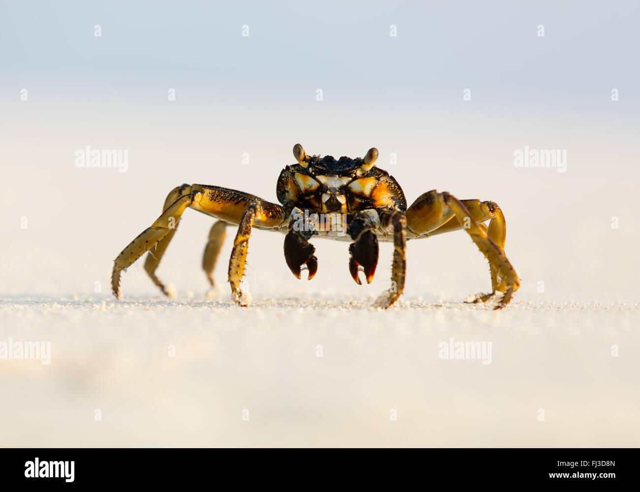 Fotografía macro de cangrejo en la playa Foto de stock
