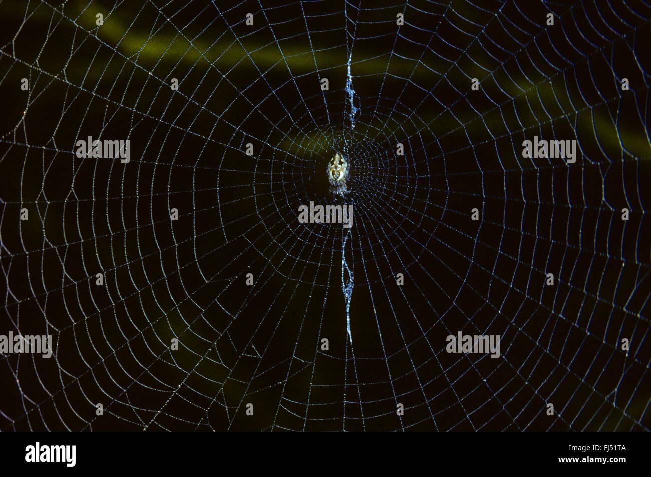(Cyclosa Trashline orbweaver), hembra conica en web, araña del año 2016, Alemania Imagen De Stock