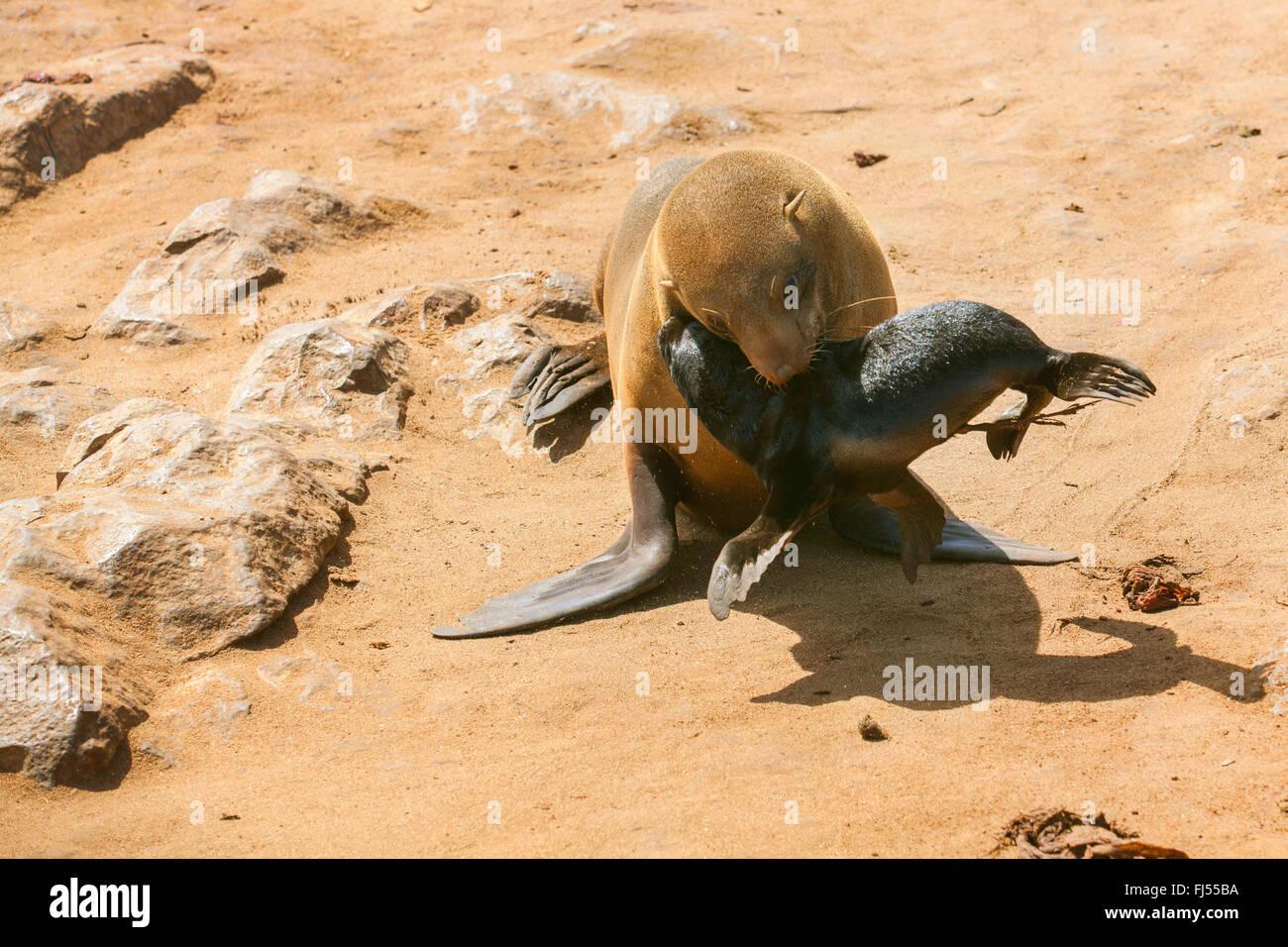 Foca peletera sudafricana, Cabo (Arctocephalus pusillus pusillus, Arctocephalus pusillus), una foca madre con su Foto de stock