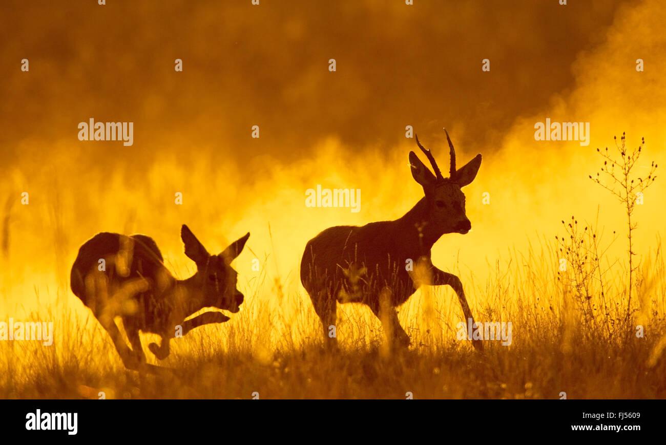 El corzo (Capreolus capreolus), corzo y doe escapando en la luz de la tarde, Alemania, Brandeburgo Imagen De Stock