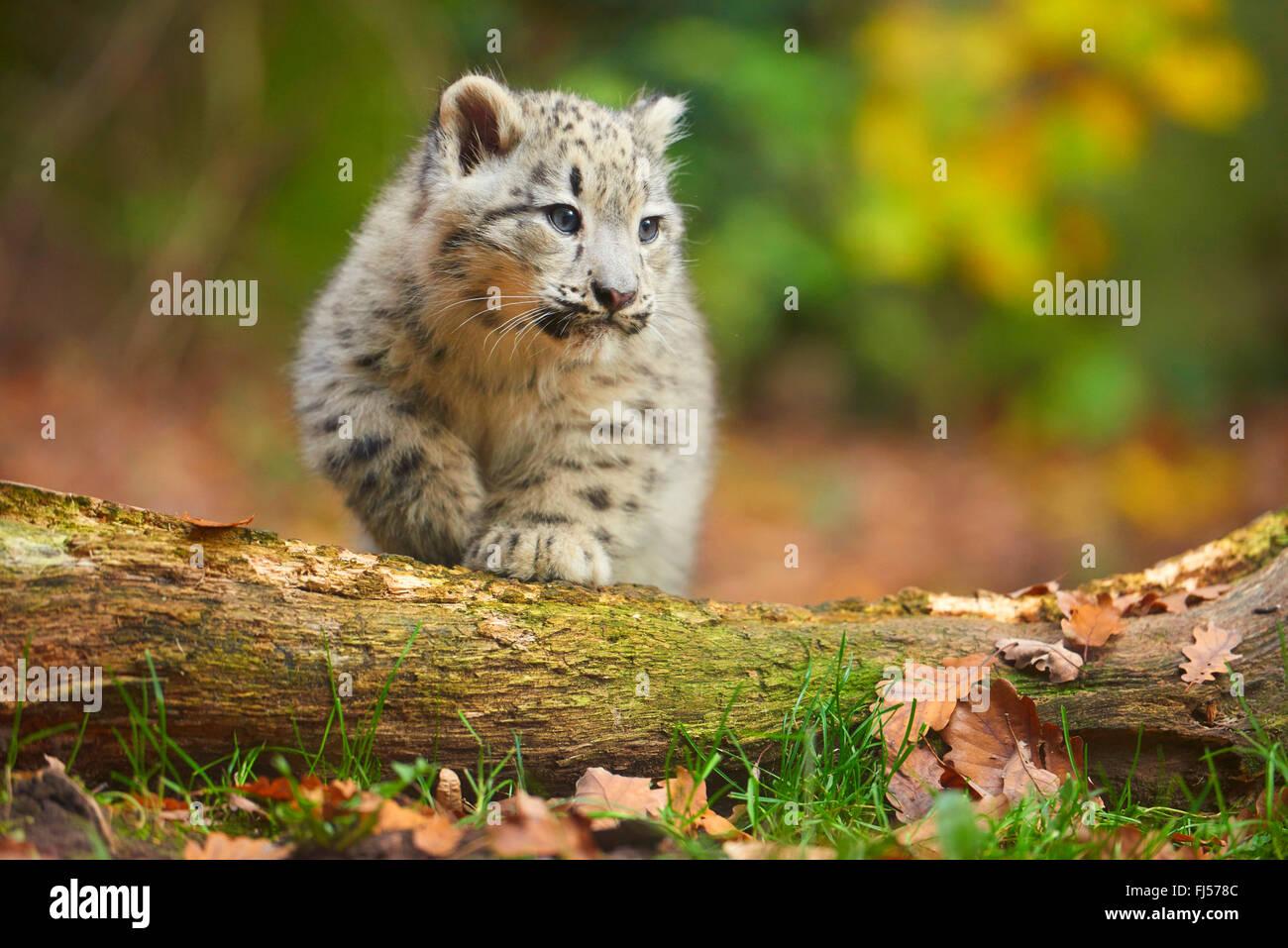 Snow Leopard (Uncia uncia, Panthera uncia), joven escalar encima de un tronco de árbol Imagen De Stock