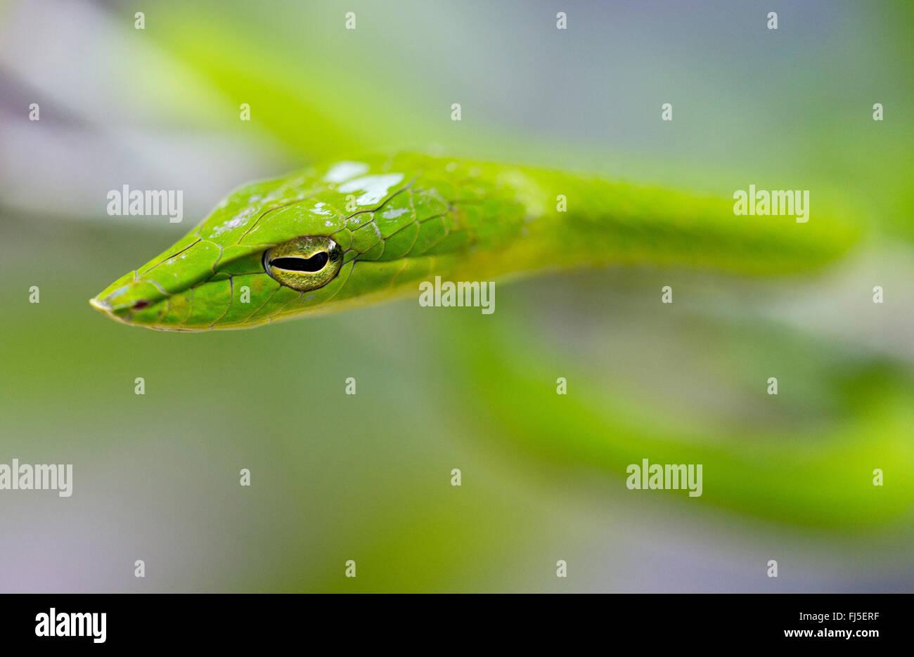 Longnose whipsnake, Verde serpiente (vid Ahaetulla nasuta), retrato, Malasia, Borneo, Sabah Foto de stock