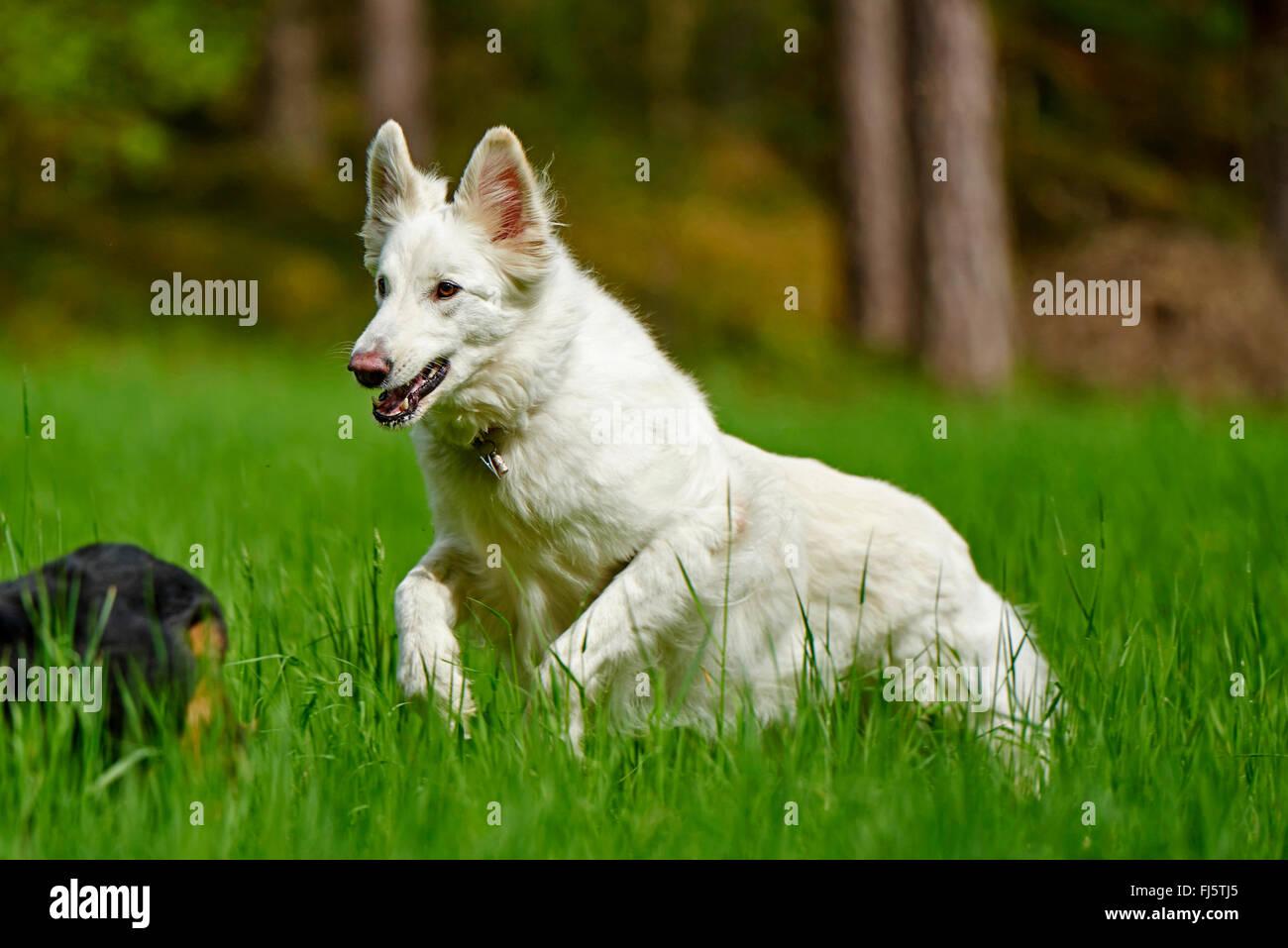 Berger Blanc Suisse (Canis lupus familiaris) f., BERGER BLANC SUISSE corriendo en una pradera, Alemania Foto de stock