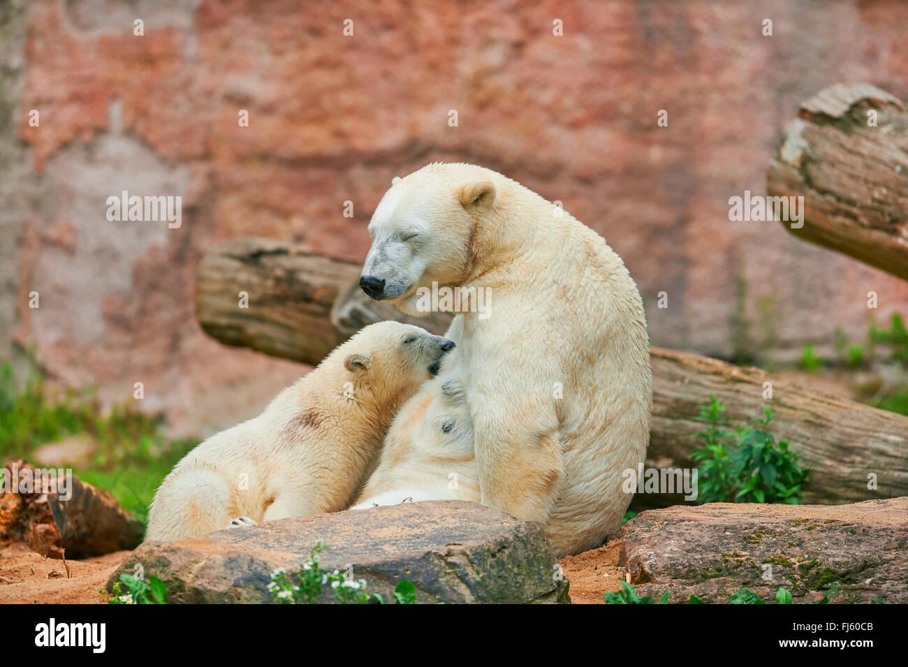 El oso polar (Ursus maritimus), osezno polar es amamantado por su madre Imagen De Stock