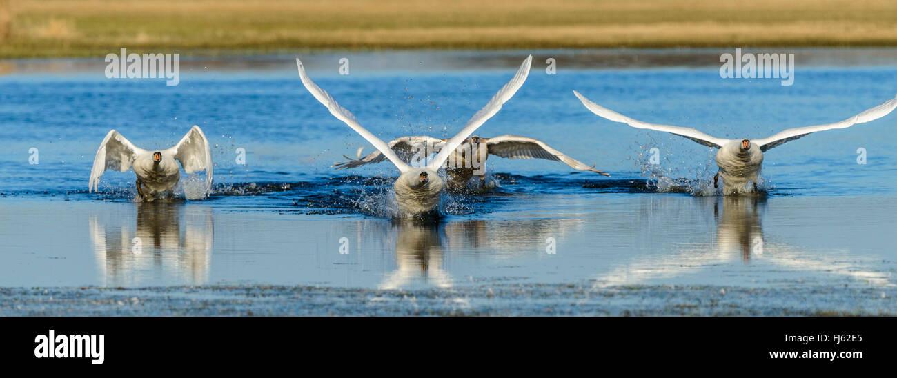 Cisne (Cygnus olor), cuatro cisnes silencio despegar una franja de agua, Alemania, en Renania del Norte-Westfalia Imagen De Stock