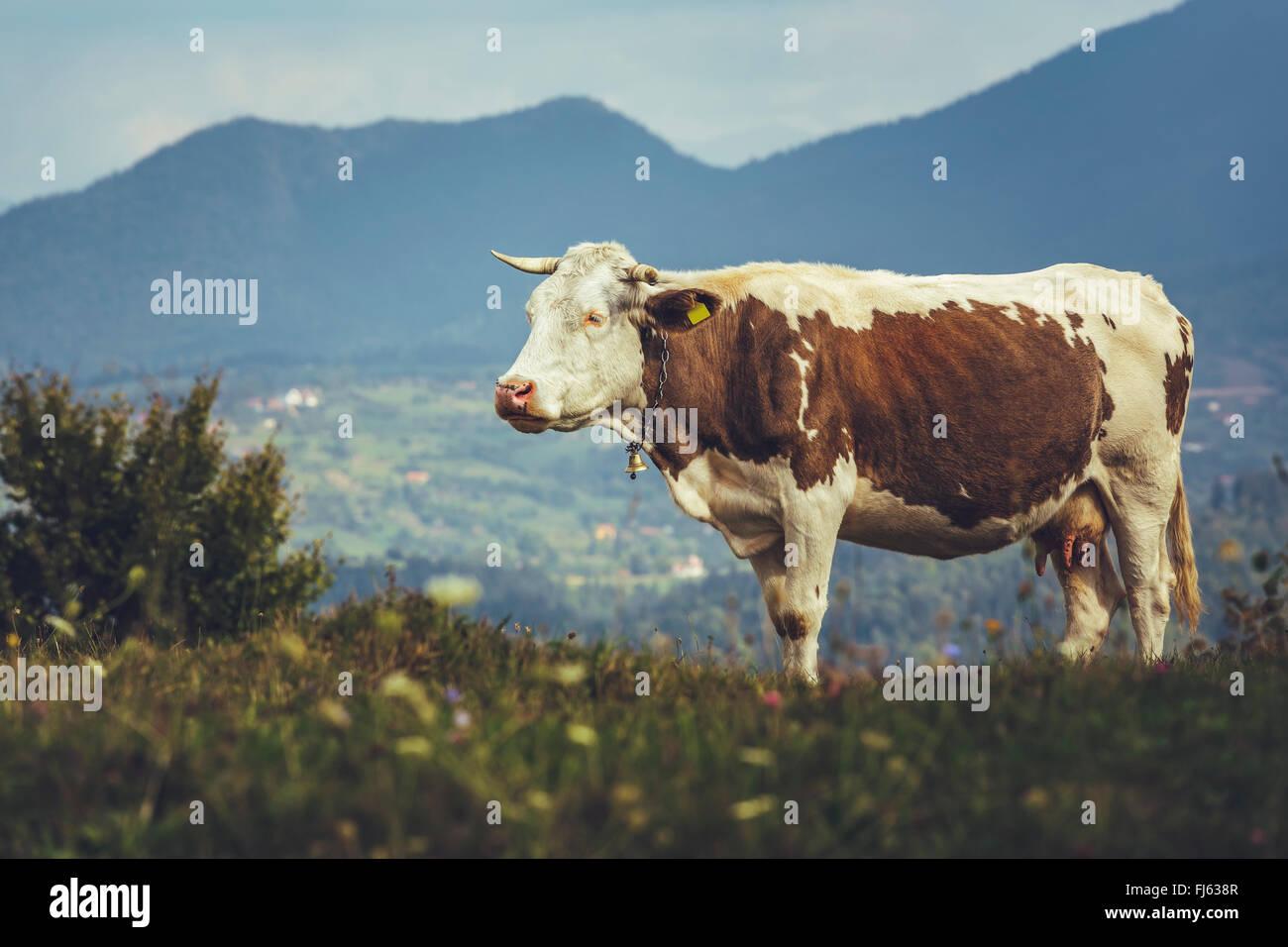Brown spotted raza holandesa vaca con Bell en una pradera en Transilvania, Rumania. La ganadería ecológica. Foto de stock