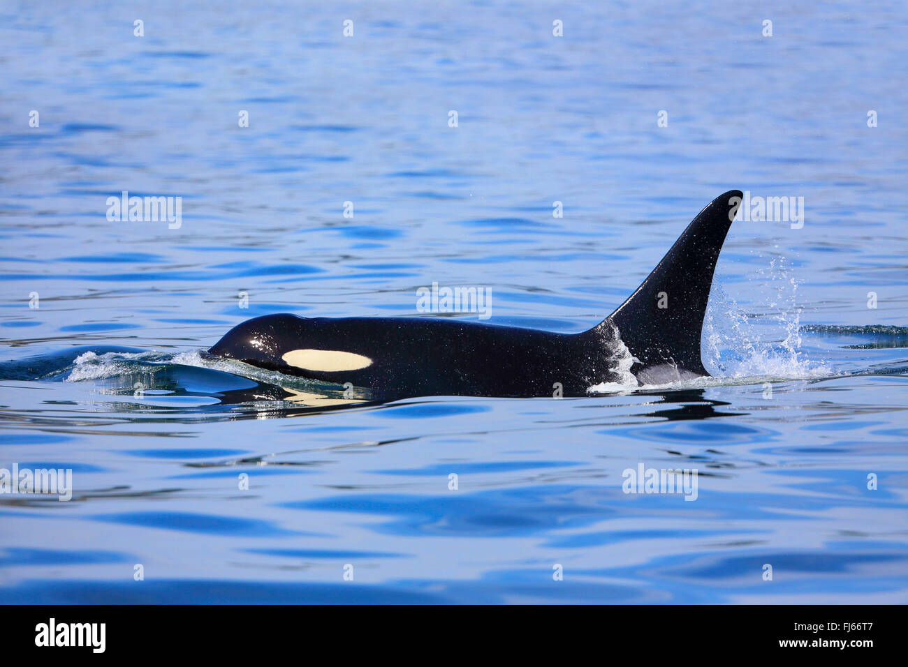 Orca, gran, grampus orca (Orcinus orca), natación masculina, Canadá, Victoria, Estrecho de Haro Foto de stock