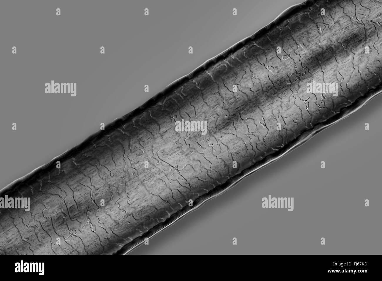 Personas, seres humanos, seres humanos (Homo sapiens sapiens), cabello humano, microscópico Imagen De Stock