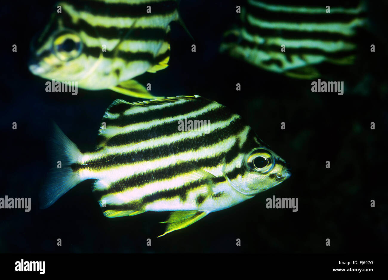 Stripey (Microcanthus strigatus, Chaetodon strigatus, Micrognathus strigatus), tres stripeys Imagen De Stock