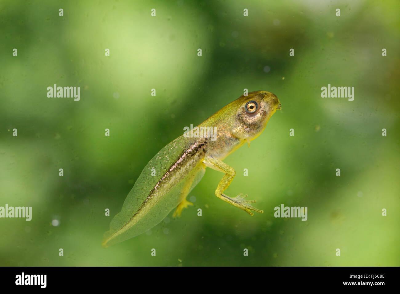 Unión treefrog, común, Europa Central treefrog treefrog (Hyla Arborea), polliwog con patas cortas, Alemania, Baviera, Niederbayern, Baja Baviera Foto de stock