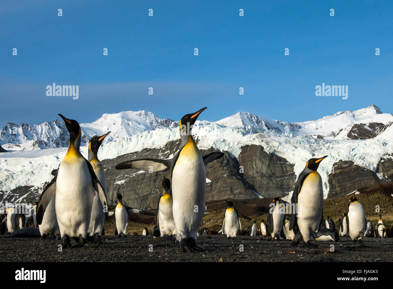 Pingüino Rey (Aptenodytes patagonicus) adulto en la playa Gold Harbor South Georgia Imagen De Stock