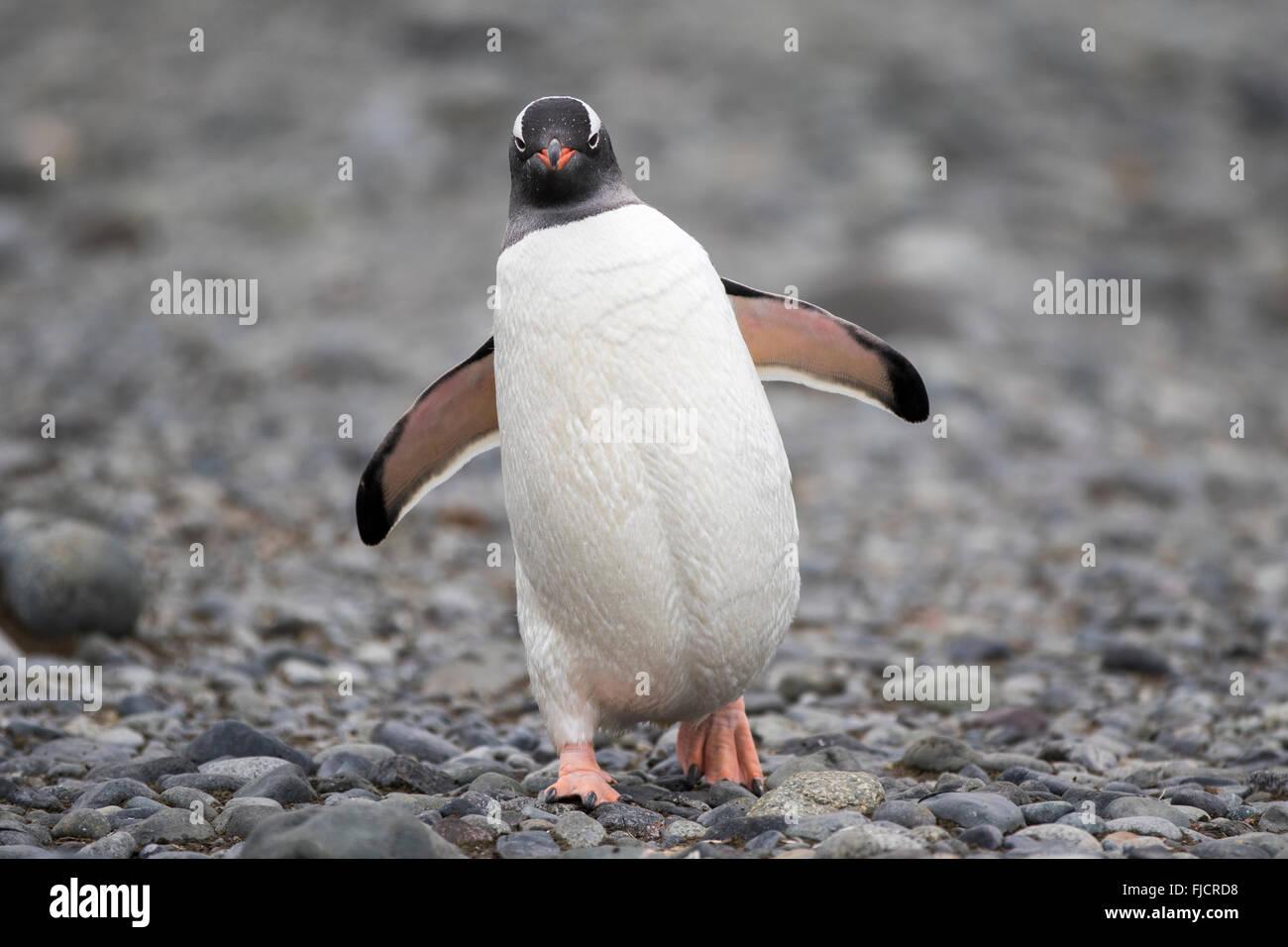 La Antártida, los pingüinos, los pingüinos antárticos. Pingüinos papúa (Pygoscelis Imagen De Stock