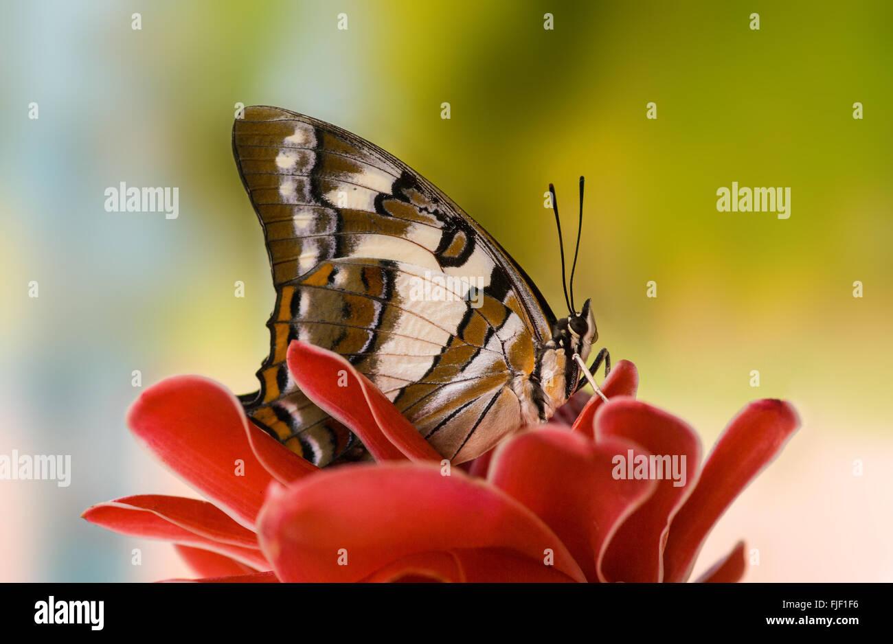 Colas de mariposa emperador, Polyura sempronius, sobre rojo torch ginger Etlingera elatior Foto de stock