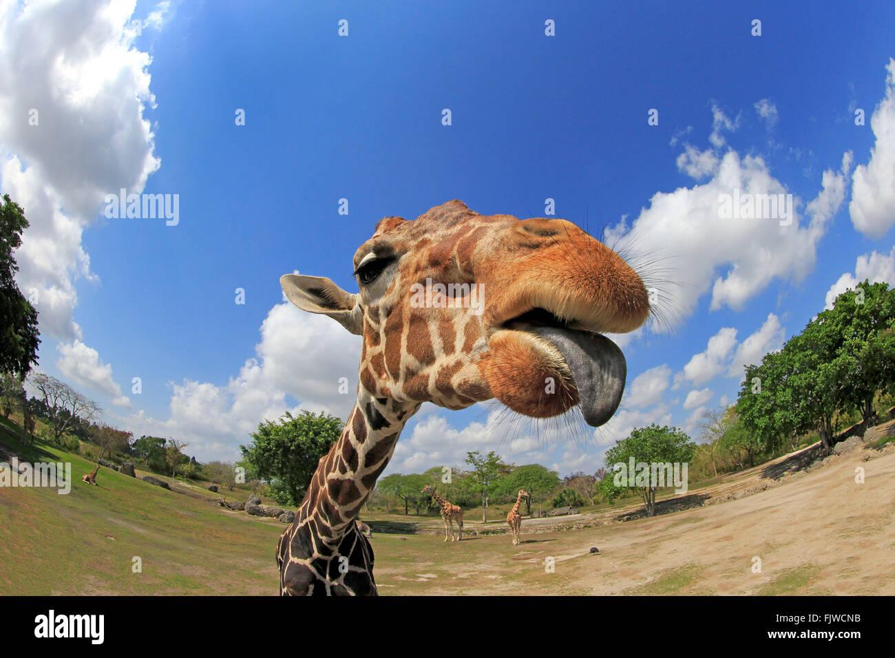 Jirafa reticulada, retrato de adultos, África / (Giraffa camelopardalis reticulata) Foto de stock