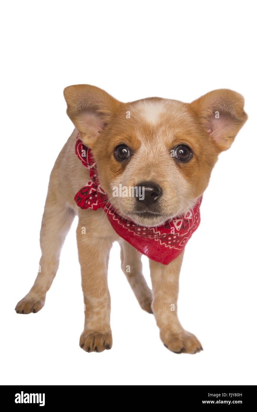 Perro de ganado australiano pup vistiendo un pañuelo bufanda aislado Imagen  De Stock 97d155c9f00