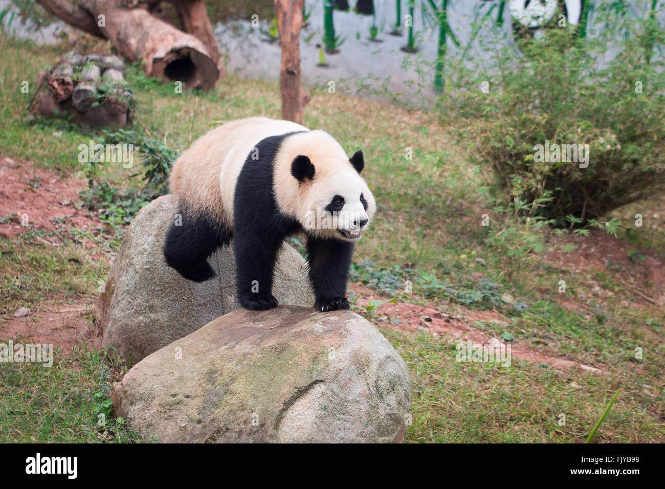 Panda en zoo Imagen De Stock