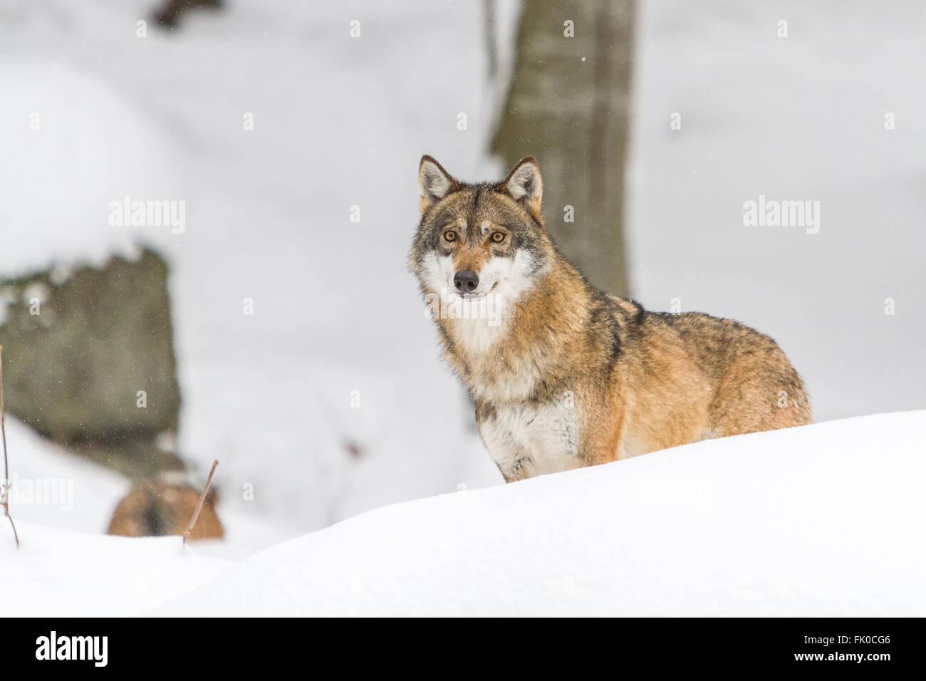 Asustados y heridos Unión lobo gris (Canis lupus lupus)en la nieve, en Alemania, el parque nacional del bosque Imagen De Stock