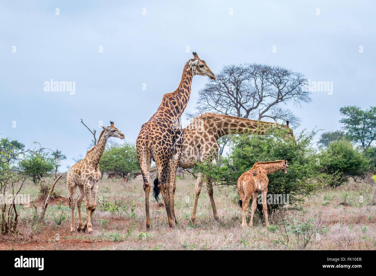 Especie de la familia jirafa Giraffa camelopardalis familia Giraffidae, el Parque Nacional Kruger, Sudáfrica Imagen De Stock