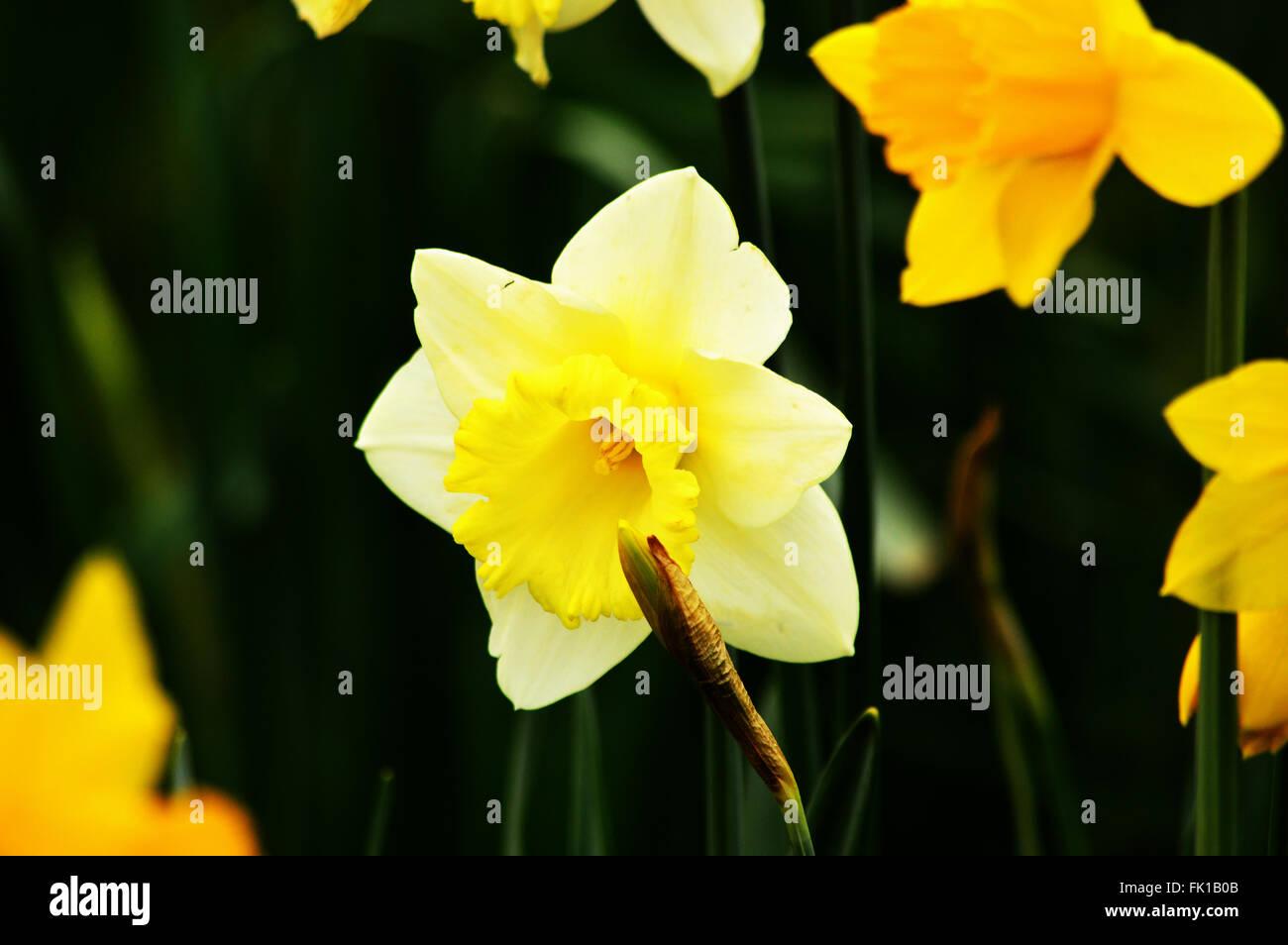 Una variedad de narciso amarillos y blancos - Engllish narcisos Imagen De Stock