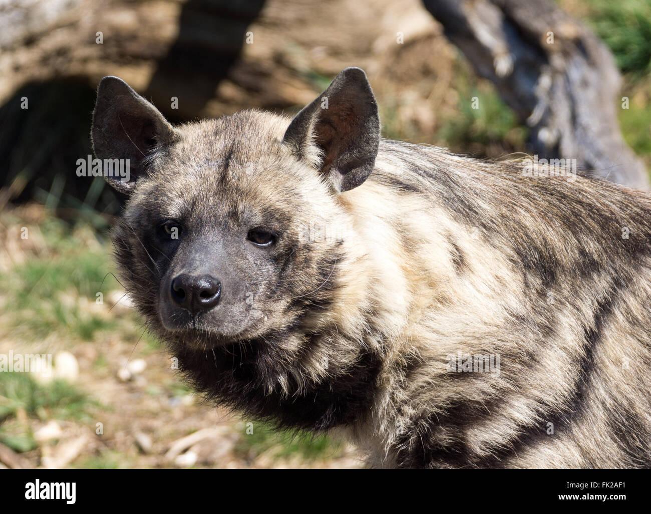 Primer plano de la cabeza de una hiena Imagen De Stock