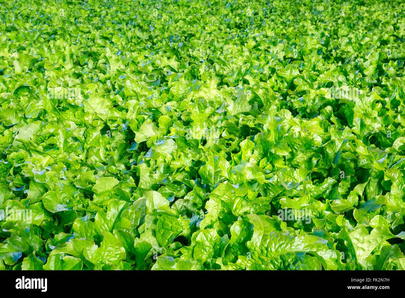 Fondo de lechuga orgánica fresca Foto de stock