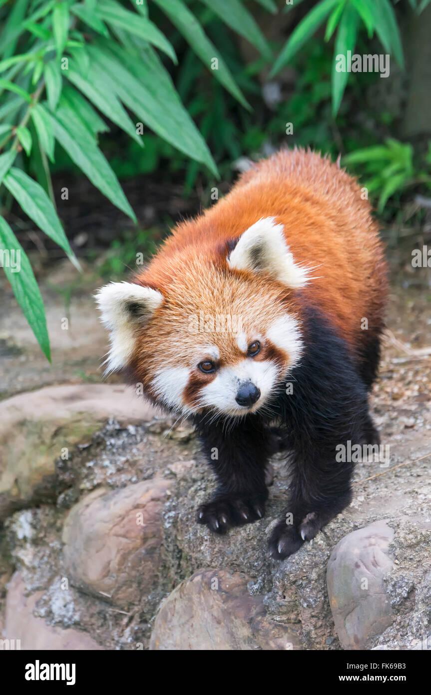Panda rojo (Ailurus fulgens), en la provincia de Sichuan, China, Asia Foto de stock