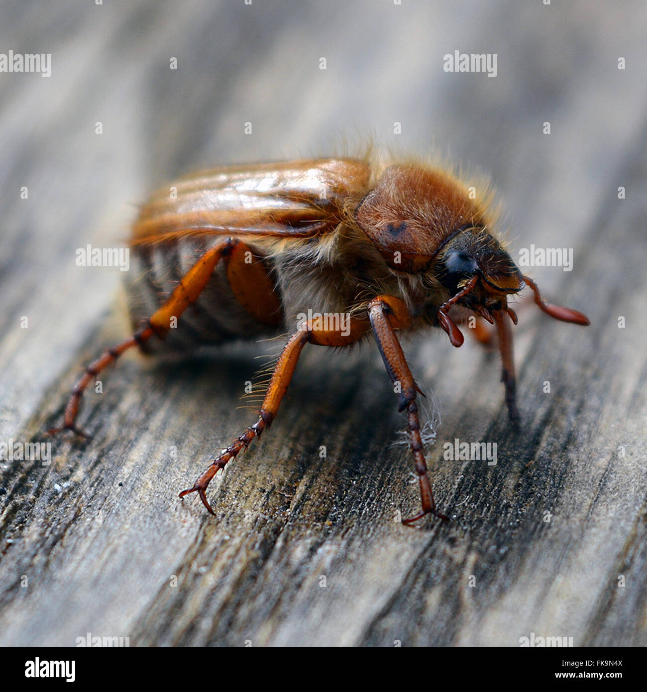 Captura de una macro Maybug sobre madera. Foto de stock